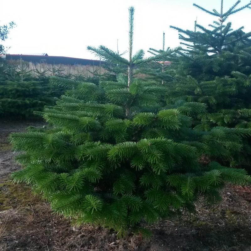 Датская елка – сохраняем легкие нашей планеты и встречаем новый год с потрясающей красавицей