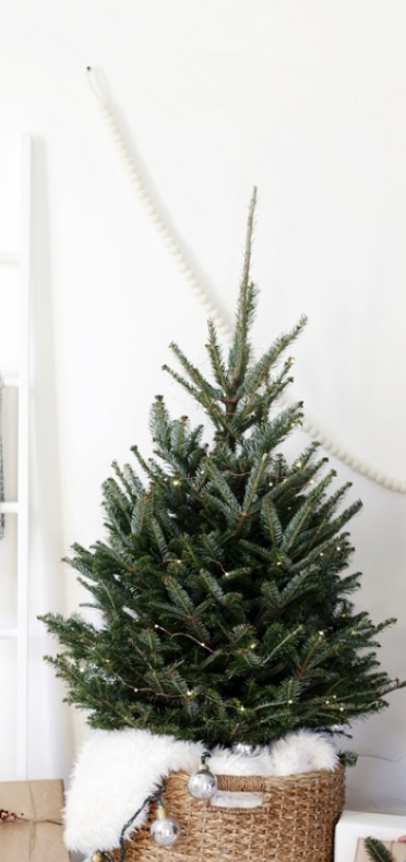 живая датская елка