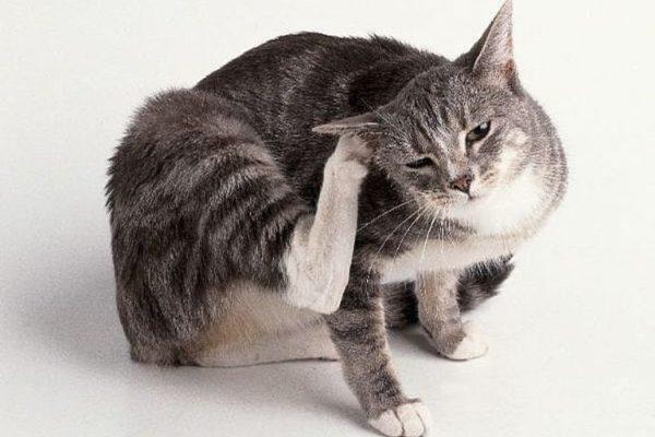 Как узнать, что у вашей кошки паразиты?