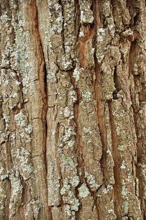 Кора дуба в стоматологии. Фото: 990788 - Fotolia.com