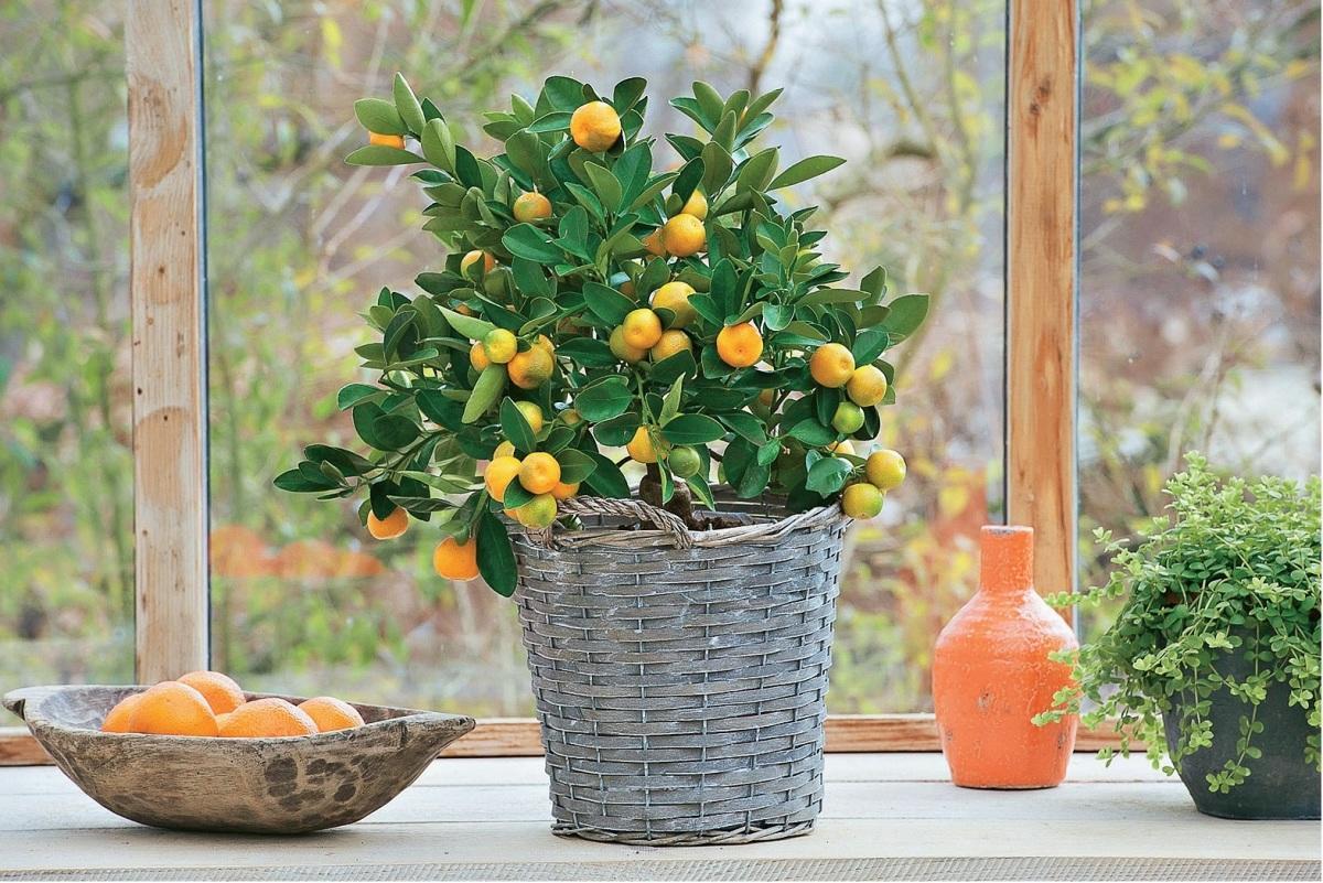 Вазон для цитрусовых растений