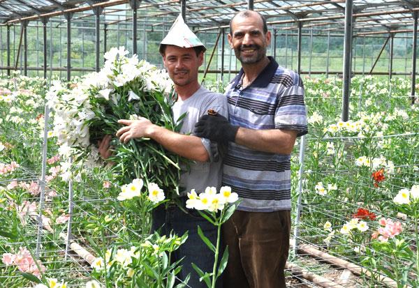 Альстромерия выращивание